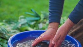 自然在的增长的白萝卜洗涤充分被顽抗水 影视素材