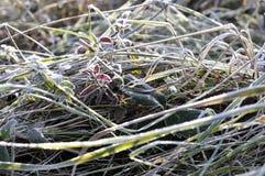 自然在秋天 包括的霜草灰白叶子薄菏 免版税图库摄影