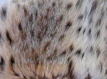 自然天猫座毛皮 库存图片