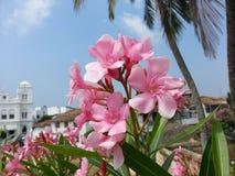 自然夹竹桃夹竹桃` kaneru斯里兰卡的`花 库存图片