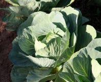 耕种在菜园的圆白菜菜 库存照片