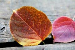 自然宏指令视图 秋天白杨木叶子纹理和颜色样式 库存照片
