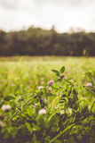 自然开花的三叶草领域 免版税图库摄影