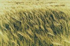 自然抽象eco背景用在风的绿色新鲜的麦子 库存图片