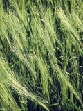 自然抽象eco背景用在风的绿色新鲜的麦子 免版税库存图片