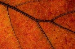 自然摘要:一片五颜六色的秋天叶子的细胞和静脉 免版税库存图片