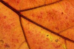 自然摘要:一片五颜六色的秋天叶子的细胞和静脉 免版税图库摄影