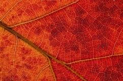 自然摘要:一片五颜六色的秋天叶子的细胞和静脉 库存图片