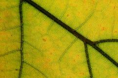 自然摘要:一片五颜六色的秋天叶子的细胞和静脉 免版税库存照片