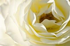 自然摘要:丢失在精美白玫瑰的柔和的折叠 免版税库存照片