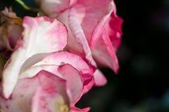 自然摘要:丢失在精美罗斯的柔和的折叠 库存图片