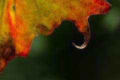 自然摘要:在秋天叶子的卷曲的嘴唇的仔细的审视 免版税图库摄影