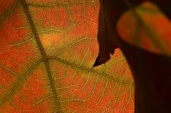 自然摘要-一片死的叶子的细胞和静脉 库存图片