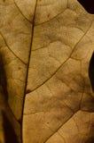 自然摘要-表皮一片死的叶子的细胞和静脉 免版税库存图片