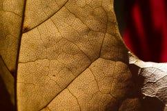 自然摘要-表皮一片死的叶子的细胞和静脉 免版税图库摄影