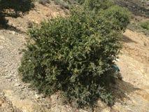 自然摩洛哥argane 库存图片