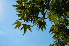 自然新鲜的绿色槭树在晴天留给叶子分支特写镜头阴影和明白蓝天背景 免版税库存图片