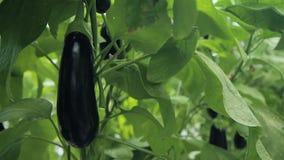 自然新鲜的茄子在温室特写镜头增长 灌木的种植园 影视素材