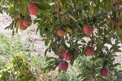 自然有机成熟红色祖传遗物可口在分支的有机苹果在苹果树、甜果子与营养和维生素 图库摄影