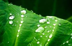自然有雨珠的绿色植物叶子 免版税图库摄影