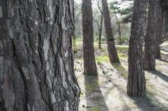 自然木纹理在公园,树皮肤有树在庭院里,抽象背景被弄脏的背景  免版税图库摄影