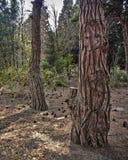 自然木纹理在公园,树皮肤有树在庭院里,抽象背景被弄脏的背景  库存图片
