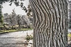 自然木纹理在公园,树皮肤有树在庭院里,抽象背景被弄脏的背景  免版税库存图片