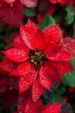 自然本底一品红圣诞节花 免版税库存图片