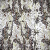 自然本底由白桦树皮制成 免版税库存图片