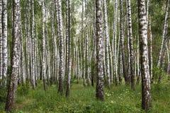自然本底,桦树树丛,森林,夏天birchwood,美好的风景 非都市, 免版税库存图片
