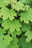 自然本底,绿色枫叶 免版税库存照片