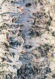 自然本底-一个老桦树的特写镜头与更多白色的 库存图片
