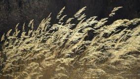 自然本底-在风的美好的针茅飞行在慢动作,秋天的干燥野草的日落时间 股票录像