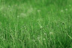 自然本底 接近的草 退了色的蒲公英 与蒲公英特写镜头的草 夏天的结尾 库存照片