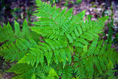 自然本底 蕨叶子在森林里 免版税图库摄影