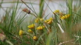 自然本底 随着第一春天热的到来,黄色花款冬增长和开花 股票视频