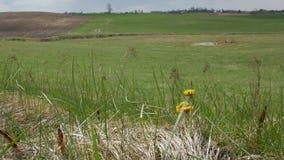 自然本底 随着第一春天热的到来,黄色花款冬增长和开花 股票录像