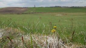 自然本底 随着第一春天热的到来,黄色花款冬增长和开花 影视素材