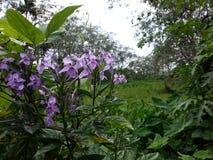 自然村庄狂放的紫色花 免版税库存图片