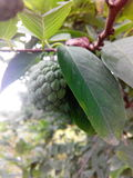 自然果子 库存图片