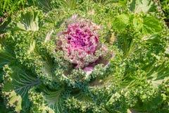 自然样式用装饰圆白菜 库存图片
