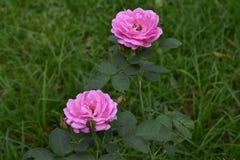自然桃红色玫瑰在庭院是非常美丽的,看起来刷新 库存照片