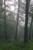 自然桤木秋季森林有薄雾的早晨 免版税库存照片