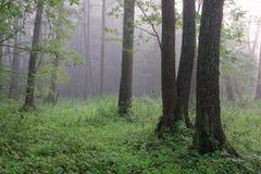 自然桤木秋季森林有薄雾的早晨 库存照片