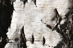 自然桦树纹理 图库摄影