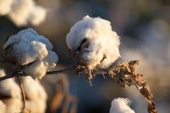 自然棉花蒴准备好收获 免版税图库摄影