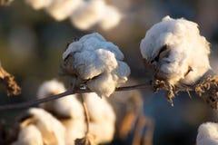 自然棉花蒴准备好收获 库存照片