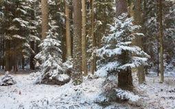 自然森林冬天风景有杉树树干和云杉的 免版税库存图片