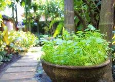 自然淡水Pennywort或Centella asiatica叶子 免版税库存图片