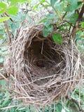 自然玫瑰丛鸟筑巢自然 库存照片